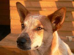 pictures of red heeler dogs | ... Portfolio › australian cattle dog - red heeler – spring sunset