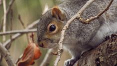 Eastern Gray Squirrel, Photography, Animals, Photograph, Animales, Animaux, Fotografie, Photoshoot, Animal