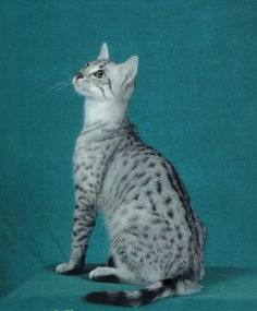 egypitain mau cats | Egyptian Mau Cat Picture