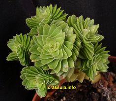 Crassula 'Estagnol' - grows in spirals