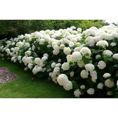 People are said that the beauty of the garden is Hydrangea. Hydrangea increase the beauty of the garden is more and more. Hydrangea s. Hydrangea Arborescens Annabelle, Annabelle Hydrangea, Hortensia Annabelle, Hortensia Hydrangea, Hydrangea Care, Hydrangeas, Landscaping With Rocks, Front Yard Landscaping, Plant Catalogs