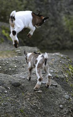 "Jumping baby goats! i love this even more because my nickname from my dad since childhood has been baby goat (but in Polish - it's ""koza""), because i used to always jump around as a little kid lol"