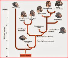 Phylogenetic tree of hominid evolution Human evolution is the evolutionary process that led to the emergence of anatomically modern… Earth Science, Science And Nature, Human Evolution Tree, Phylogenetic Tree, Theory Of Evolution, Anthropologie, Early Humans, History Timeline, Archaeology