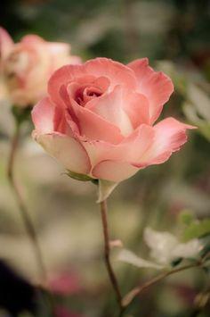 signification des roses roses, bouquet de roses roses