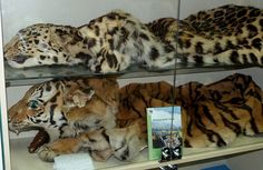 Polar bear, antelope and tiger parts all easily available via the Russian Internet