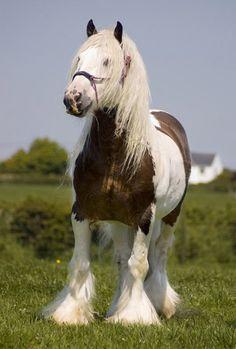 Gypsy Vanner Stallion named 'The Midget'.