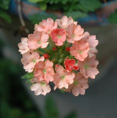 Beyond Mums - Five Fall Plants for Container Gardens: Verbena Hanging Plants Outdoor, Plants For Hanging Baskets, Hanging Planters, Plants Indoor, Outdoor Decor, Container Plants, Container Gardening, Natural Bath Bombs, Fall Containers