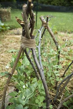 Build a Plant Teepee with sticks for those vines to grow on!