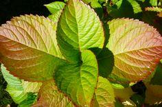 Mon jardin-Ma passion (c) Michelle Zurcher      ما أجمل هذا الورق ، صنع الله الذي أتقن كل شيئ صنعه ،،،،،،