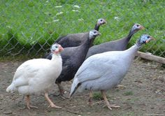 Guinea fowl come in many colors. They are great for keeping in your garden because they will eat the bugs but don't scratch the plants up like chickens do. Also, their eggs are richer, creamier and better tasting then chickens.