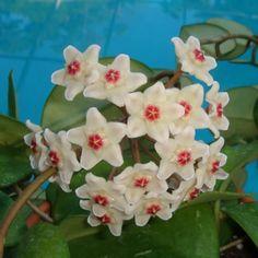 Hoya fungii $$$ IML 0444 Hoya fungii - $16.00 : Hoya Plants and Cuttings