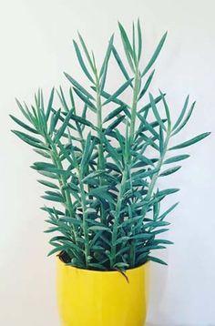 #Senecio #houseplant