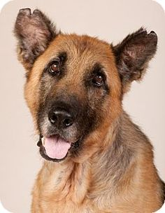 "ADOPTED!!!  11/28♥♡I AM ONE OF THE SWEETEST DOGGIES ON EARTH Chicago, IL - German Shepherd Dog. Meet Splinter, 10 yrs. old. Splinter lived on the end of a chain for his entire life. He was 20 mins. from being euthanized when he was rescued by Chicago's Pal's Place Rescue. He was completely bald from mange, heartworm positive. His stomach was full of the skeltons of rats & mice that he was forced to hunt to stay alive since his ""family"" neglected to feed him. His ears & tail had frostbite…"