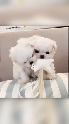 Two Beautiful Maltese Puppies Having Fun