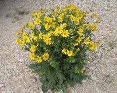 Engelmannia peristenia  Cutleaf Daisy   Item #: 1014 Category: Wildflowers Habit: Perennial Bloom: Feb-Nov Height: 1-3'