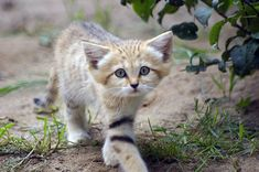 Sand cats retain a kitten-like appearance their whole lives giving the impression that they never grow up..