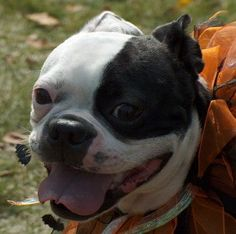 All the things we all admire about the Fun Boston Terrier Puppies Boston Terrier Temperament, Brindle Boston Terrier, Baby Boston Terriers, Boston Terrier Names, Boston Terrier Love, Terrier Breeds, Terrier Puppies, Pitbull Facts, English Terrier