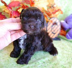 mini toy teacup schnauzer puppies - Paradise Valley Schnauzers