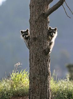 The 100 Most Priceless Raccoon Photos of All Time Animals And Pets, Baby Animals, Funny Animals, Cute Animals, Funniest Animals, Wild Animals, Beautiful Creatures, Animals Beautiful, All Nature