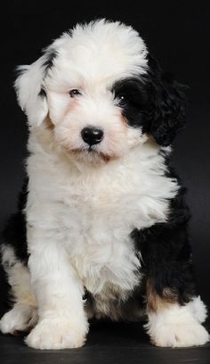 Have a dog like this mom austraila sheep dog Dad Bernese Mountain dog....must post him