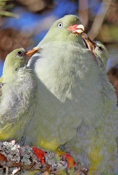 Please Mommy - African Green Pigeons by Rodnick Clifton Biljon...:)