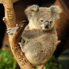 Image result for koala bear