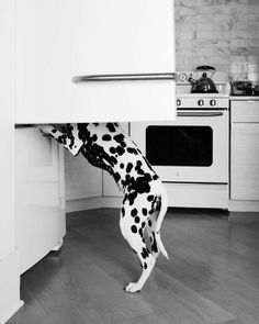 5 Tips For Your Dalmatian's Health & Happiness by DOGSBLOG