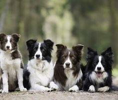Cztery, Alejka , Border collie, Psy #bordercollie