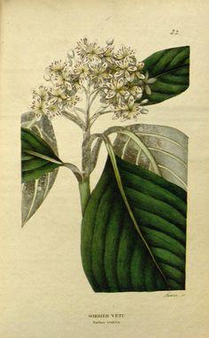 - Annales de flore et de pomone : - Biodiversity Heritage Library Literature, Berries, Literatura, Berry