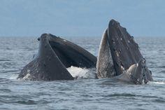 Whale feeding