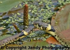 Love this photo by Andy Smith! Grass snake.