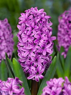 Rich tropical purple shades into intense pink in the florets of this delightful hyacinth 'Miss Saigon'. Buy Miss Saigon Hyacinth Flower Bulbs at Wholesale pricing with DutchGrow and get ready for planting your hyacinth bulbs in Fall for Spring blooming. Hyacinth Flowers, Bulb Flowers, Daffodils, Hyacinth Plant, Miss Saigon, Olive Garden, Pink Garden, Planting Bulbs, Planting Flowers