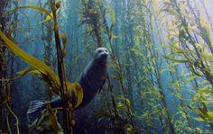 Foca nada em meio a uma floresta de grandes algas nos arredores do litoral de San Diego, na Califórnia, EUA. A imagem foi a grande vencedora do Concurso de Fotos Submersas 2013, promovido pela Universidade de Miami