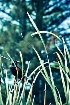 Redwing Blackbird Fine Art Photography Print by GreenFuseCreations, $15.00