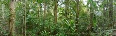 Rainforest Panorama  32x10inch 81x25cm nature by oceloteyes
