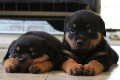 Rottweiler puppies. They don't look scary at this age.