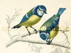 1861 Oiseaux Mésanges gravure ancienne Ch. d' Orbigny Original Lithographie peinte à la main Mésanges bleues Ramphocèle flamboyant de la boutique sofrenchvintage sur Etsy