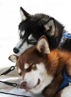Nap time for these Huskies