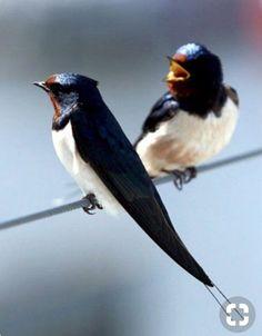 Swallows by Rondini World Birds, All Birds, Little Birds, Love Birds, Pretty Birds, Beautiful Birds, Animals Beautiful, Rare Animals, Animals And Pets