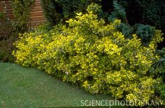 Euonymus fortunei EMERALD 'N GOLD; have killed this several time, need to replant Garden Shrubs, Landscaping Plants, Kingdom Hall, Burning Bush, Low Maintenance Plants, Replant, Evergreen Shrubs, Small Plants, Plant Design