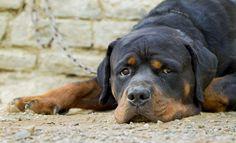 Rottweiler by Kailash Kumar on Indian Animals, Rottweiler Dog, Animal 2, Labrador Retriever, Around The Worlds, Dogs, Labrador Retrievers, Doggies, Labrador Retriever Dog