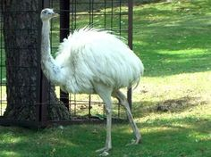 White Ostrich It's so fluffy, I can't handle it!!!!