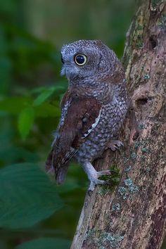 }{   Screech Owl, owlet portrait by Philip Dunn | Flickr