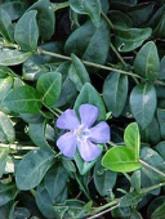Invasive Groundcovers for Deer Control: Periwinkle vinca is a classic ground cover for shady areas.
