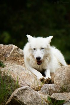 White wolf by Cloudtail**
