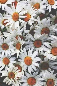 Margarida, Flor Branca, Primavera, Branco, Flor, Planta fundo tumblr
