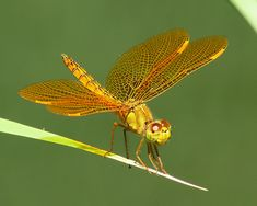 Mexican Amberwing, Male, Spur Cross Conservation Area, Maricopa, AZ ...