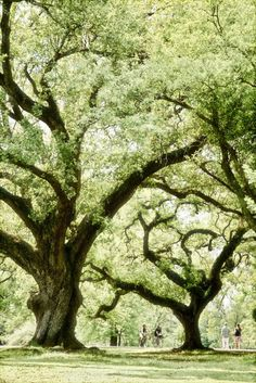 Majestic Oaks, Audubon Park in New Orleans, Louisiana.