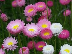 Paper Daisy Everlasting in Germination Media 60 Seeds - Easy to grow Australian Wildflowers, Australian Native Flowers, Australian Plants, Townhouse Garden, Australian Native Garden, Paper Daisy, Garden Inspiration, Garden Ideas, My Secret Garden