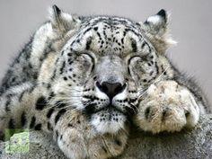 Snow leopard | Snow Leopard